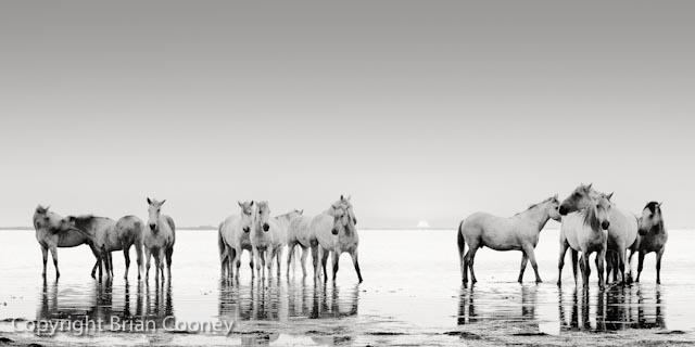 Camargue Horses at Dawn.